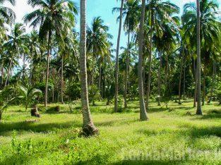 Coconut land for sale