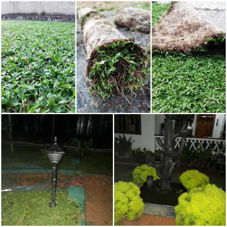 landscape and malaysian grass/Australian grass