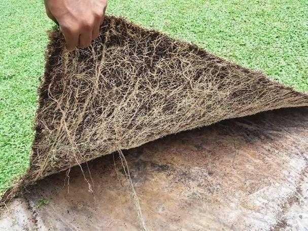 landscape malaysian grass Australian grass