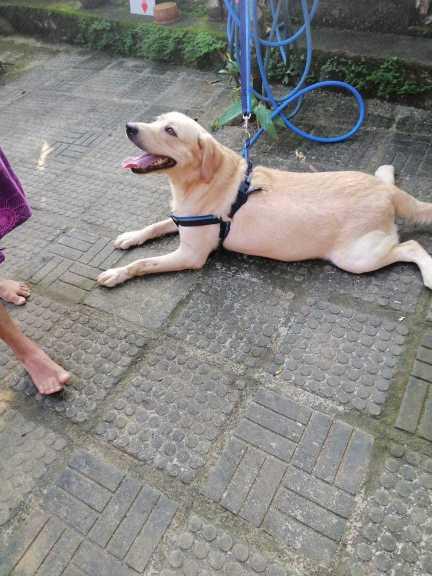 labrador Dog for crossing (stud)
