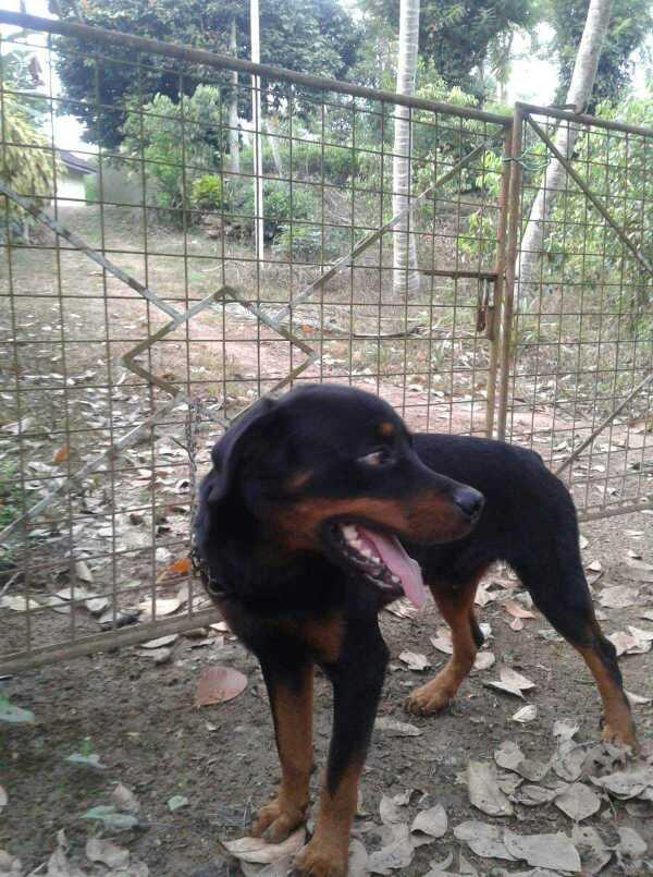 Rottweiler male dog