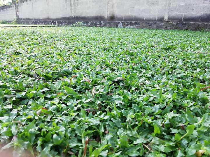 Malaysian grass