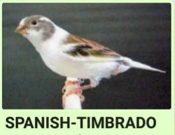 Canary-Birds