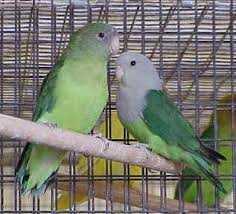 Each Head-Love Birds