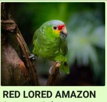 AMAZON'S BIRDS