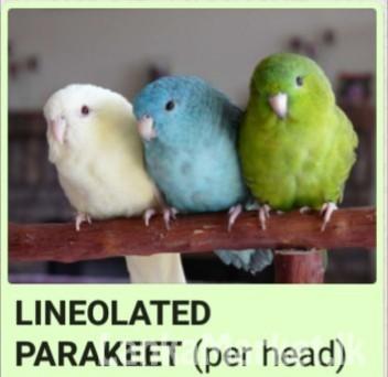 Parakeet-Birds