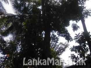 Nadun tree for sale නැදුන් ගසක් විකිණීමට තිබේ
