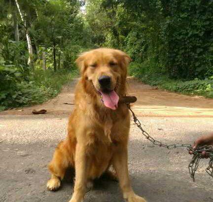 Golden Retriever male dog for crossing.