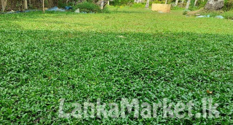 Malasiyan carpet grass