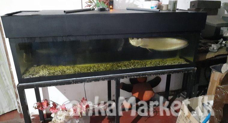 Aravana fish with tank