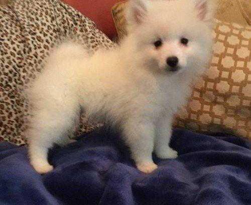 Cute American Eskimos Puppies Available