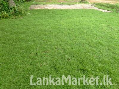 Australian carpet Grass