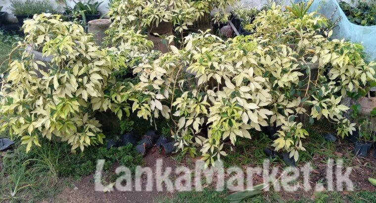 Bougainvillea Flowers pochchi/plant