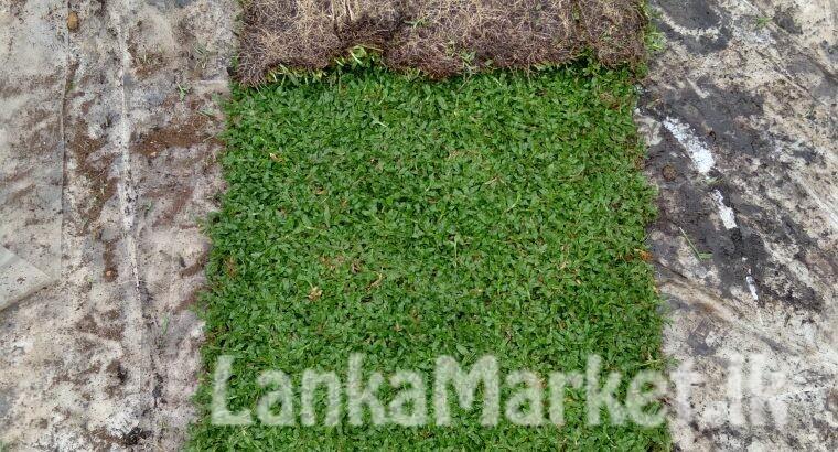Malaysian /Australian carpet Grass