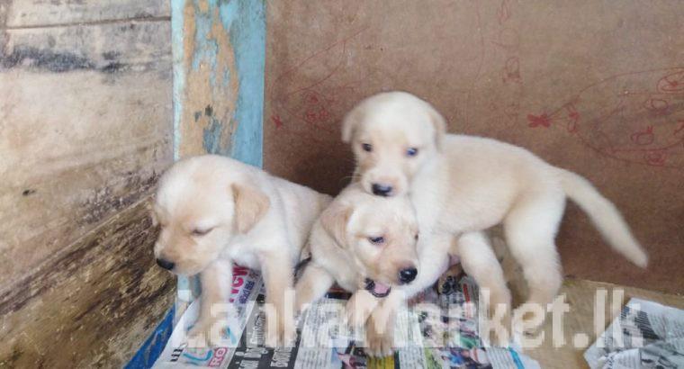 Labrador puppies available