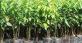 Cinnamon Plants