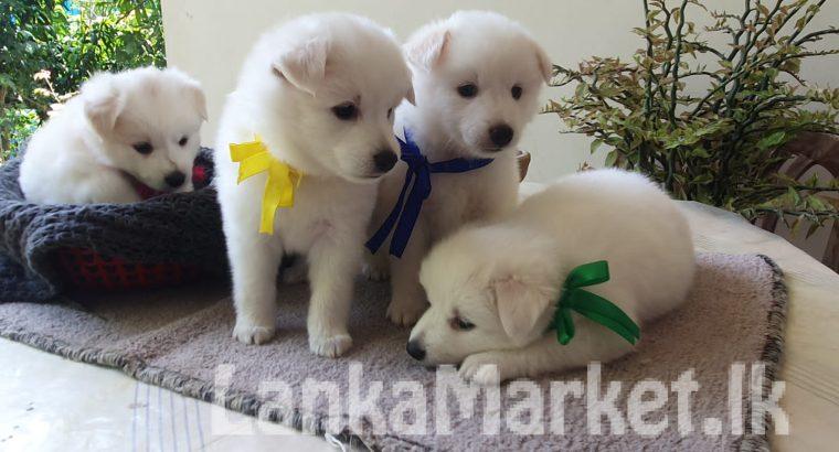 pomaneriyan puppies