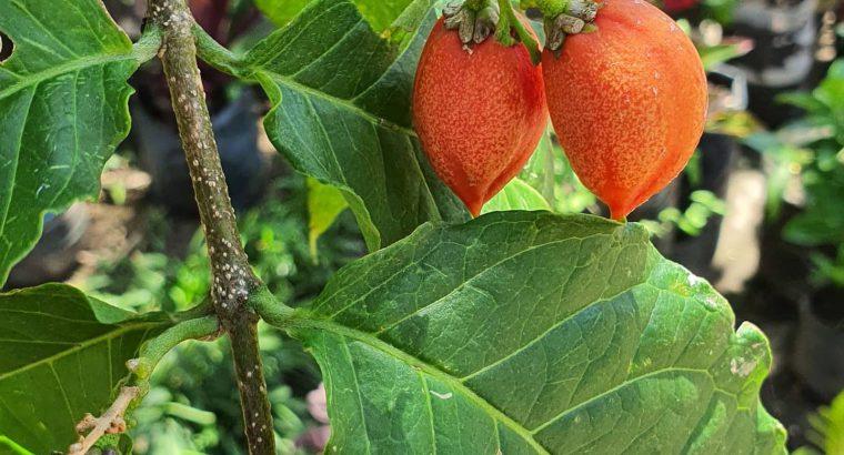 Apricot plants